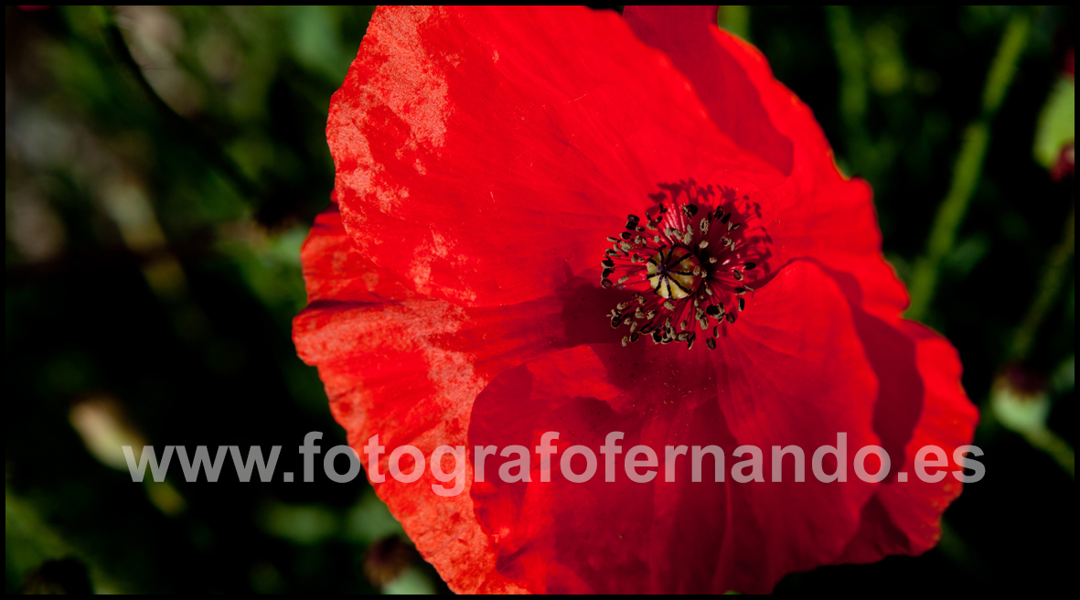 FOTOGRAFIA DECORAR AMAPOLAS CAMPO